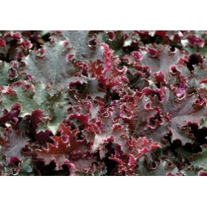 Heuchera 'Purple Pettic..