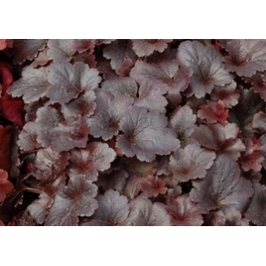 Heuchera 'Gotham' City Series