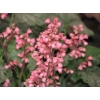 Heuchera 'Magic Wand'
