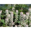 Tiarella 'Morning Star'