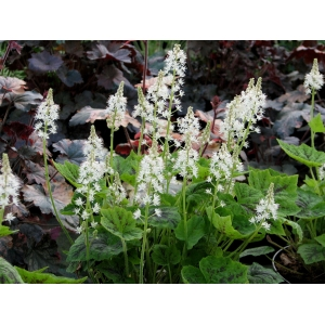 Tiarella 'Appalachian Trails'
