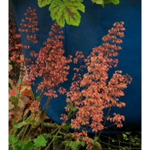 Heuchera 'Pride of Pill..