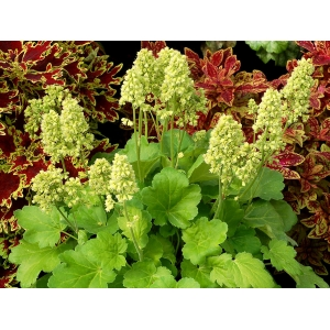Heuchera 'Blondie in Li..