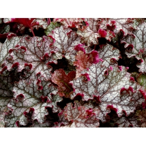 Heuchera Can-Can