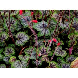 Heuchera 'Cezanne' Master painter