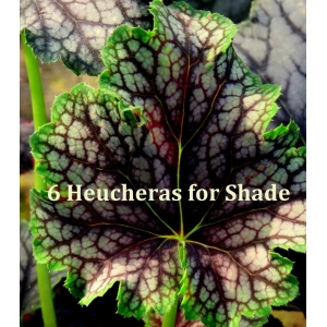 6 Heucheras for Shade