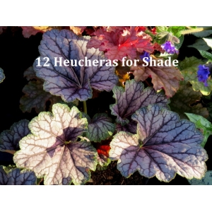 12 Heucheras for shade