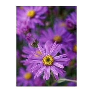Aster 'Floras Delight'