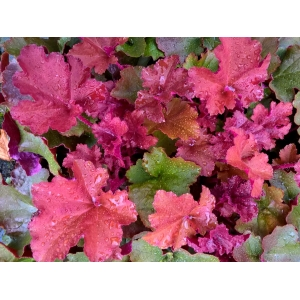 Heuchera 'Sunrise'