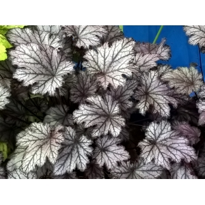 Heuchera 'Silver Gilt' Heucheraholics Series