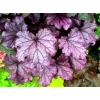 Heuchera 'Forever Purple'