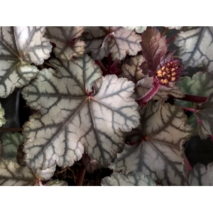 Heuchera 'Jade Gloss'