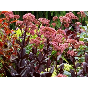 Sedum 'Chocolate Drop'