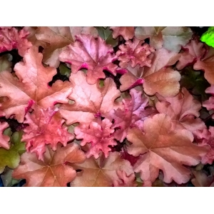 Heuchera 'Boysenberry' ..