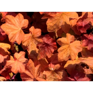 Heuchera 'Orange Dream'