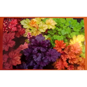Greetings Cards - Heuchera S..