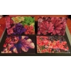 Greetings Cards - Heuchera Pack of 4 mixed