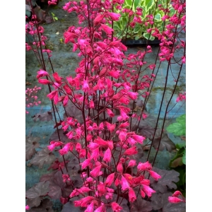 Heuchera 'Lily the Pink'