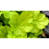 Heuchera 'Dizzi Blonde'