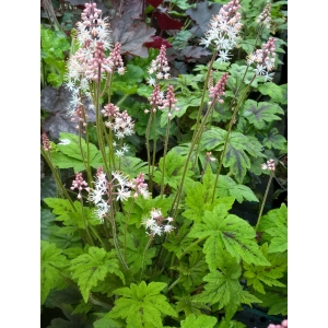 Tiarella 'Fairy's Foots..