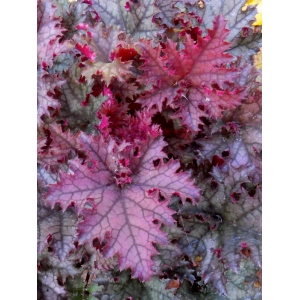 Heuchera 'Purple Crinkle'