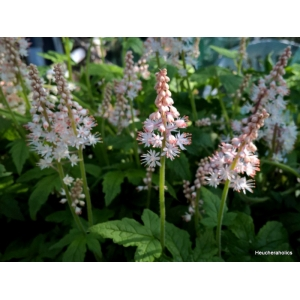 Tiarella 'Jeepers Creep..