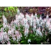 Tiarella 'Fairy's Footsteps'