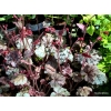 Heuchera 'Red Pearls'