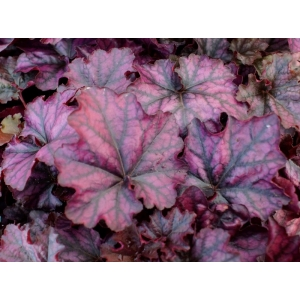 Heuchera 'Mulberry' Indian S..