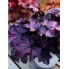 Heuchera 'Mulberry' Indian Summer Series