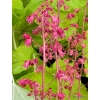 Heuchera 'Northern Exposure Lime'