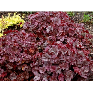 Heuchera 'Northern Exposure ..