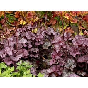 Heuchera 'Northern Expo..