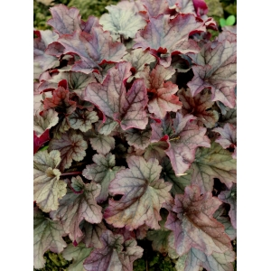 Heuchera 'Huckleberry' - Indian Summer Series