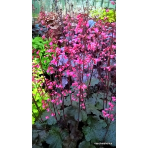 Heuchera 'Black Cherry'