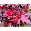 Heuchera 'Taeberry' indian Summer Series