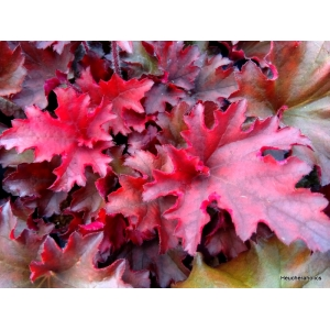 Heuchera 'Taeberry' indian S..