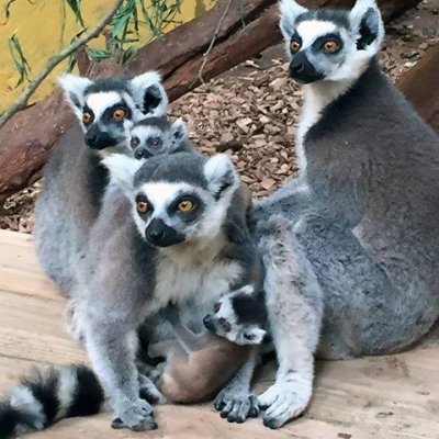 "Lemur Experience - ""How Many Lemurs Am I Holding Up"""