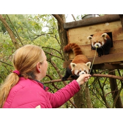 Meet the Red Pandas - Red Panda Experience
