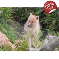 Hand Feed the Arctic Wolves