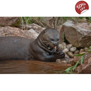 Hand Feed the Giant Otters