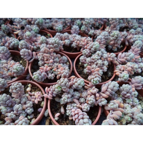 "Sedum dasyphyllum ""blue carpet"""