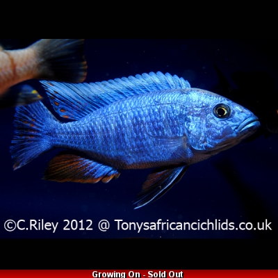 COLOURED SEXED PAIR Blue fryeri 7-9cm, females smaller