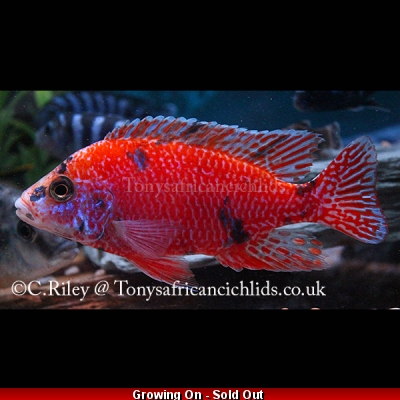 "Aulonocara O/B red/orange Light blotch*Line Bred* COLOURED SEXED PAIR - 7-8 cm/3.5"" back in stock"