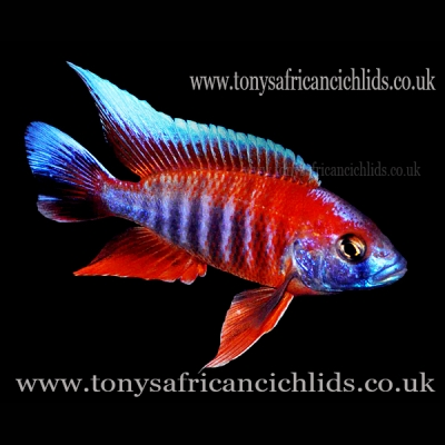 "Aulonocara Jacobfreibergi Eureka Colour Select *Line Bred* - COLOURED SEXED PAIR 8-10cm/4-5""  BACK IN STOCK"