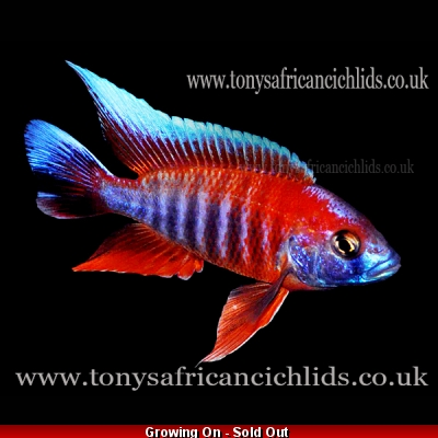 "PAIR - Aulonocara Jacobfreibergi Eureka Half Coloured Select *Line Bred* - COLOURED SEXED PAIR 8-10cm/4-5""  BACK IN STOCK"