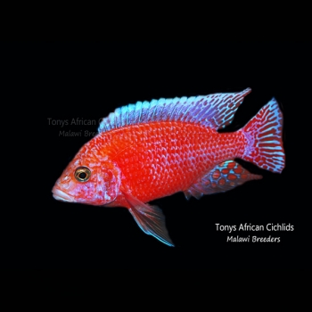 PAIR - Aulonocara Firefish *Line Bred* - COLOURED PAIR 7-8cm LIMITED STOCK