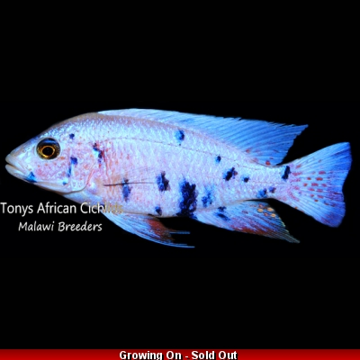 "PAIRS COLOURED SEXED Sciaenochromis fryeri OB ""Snow"" 7-8cm *LINE BRED* - READY NOW"