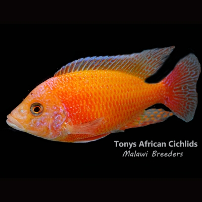 "Aulonocara Sunset *UK Line Bred* - COLURED SEXED PAIR - 10cm/4-5""  BACK IN STOCK"