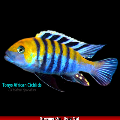 SEXED pair, Cynotilapia afra Cobue 5-6cm, females smaller, Limited stock